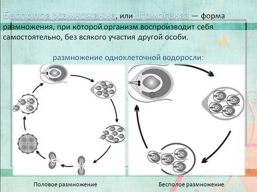 Размножение Голосеменных Растений Презентация