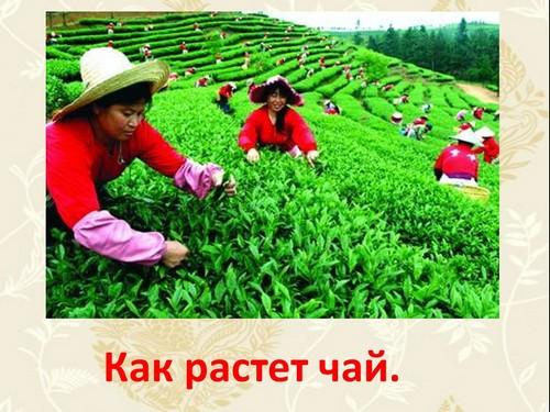 презентация как растет чай