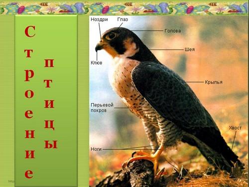 знакомство с классом птиц